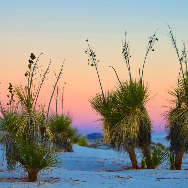 """Yucca at Sunset"" stock image"