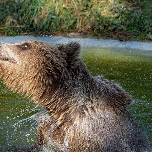 """Brown Bear Cooling off"" stock image"
