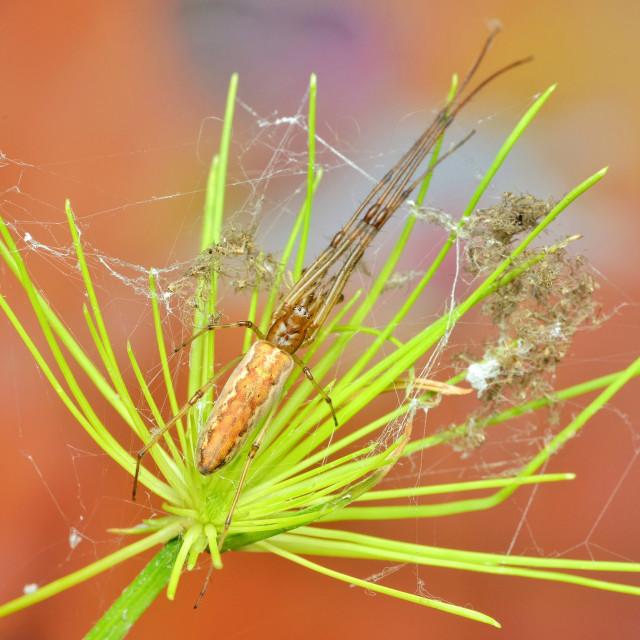 """Tetragnatha cf. mandibulata spider"" stock image"