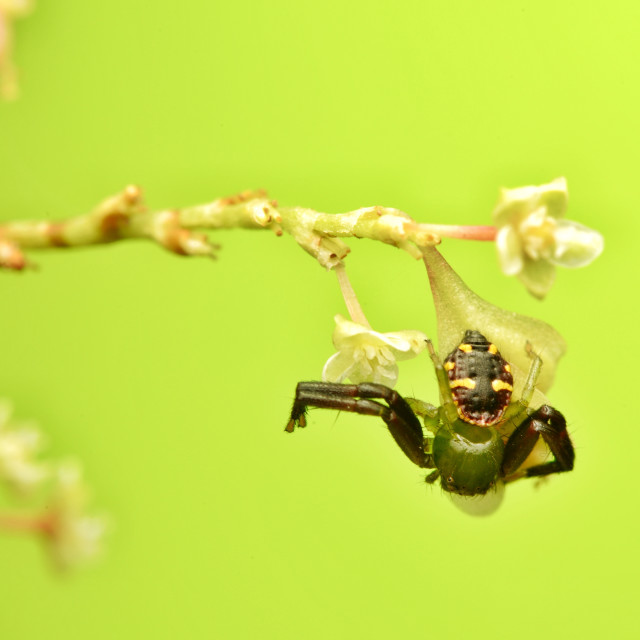 """""""Thomisidae green crab spider"""" stock image"""