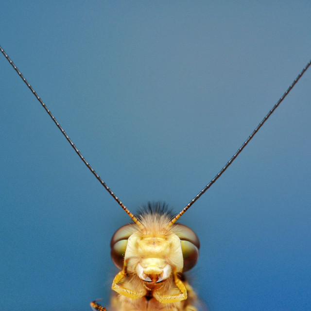 """""""Portrait of Owl fly"""" stock image"""