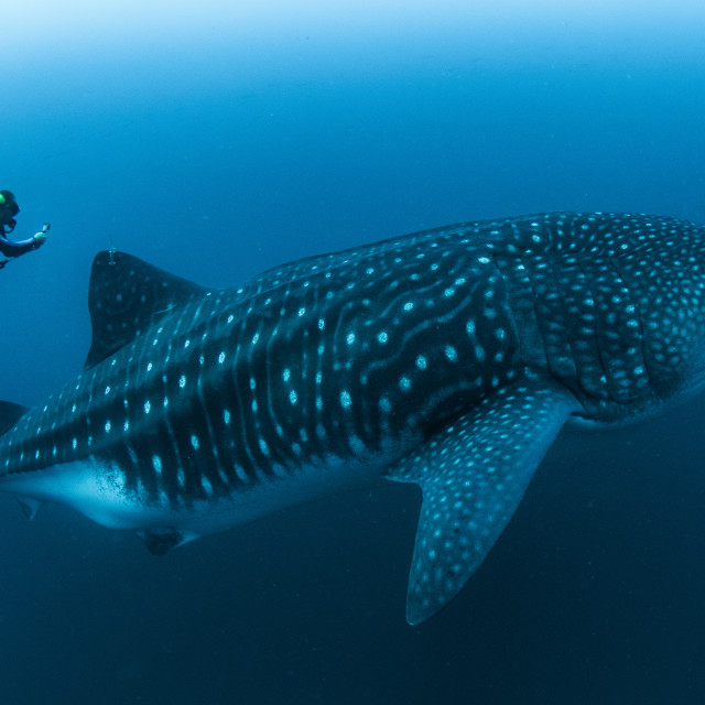 """Scuba diver with huge whale shark in the Galapagos Islands"" stock image"
