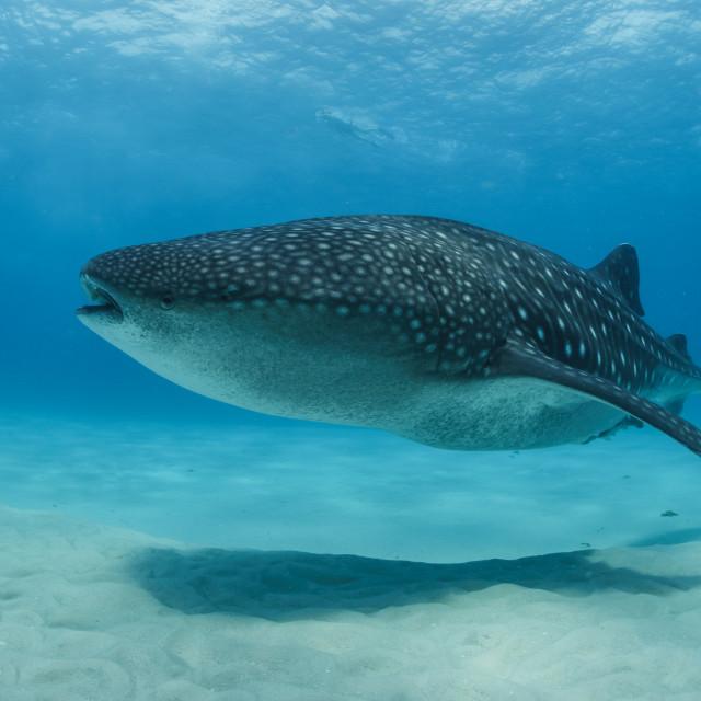 """Whale shark swimming over a shallow sandbank at Mafia Island, Ta"" stock image"
