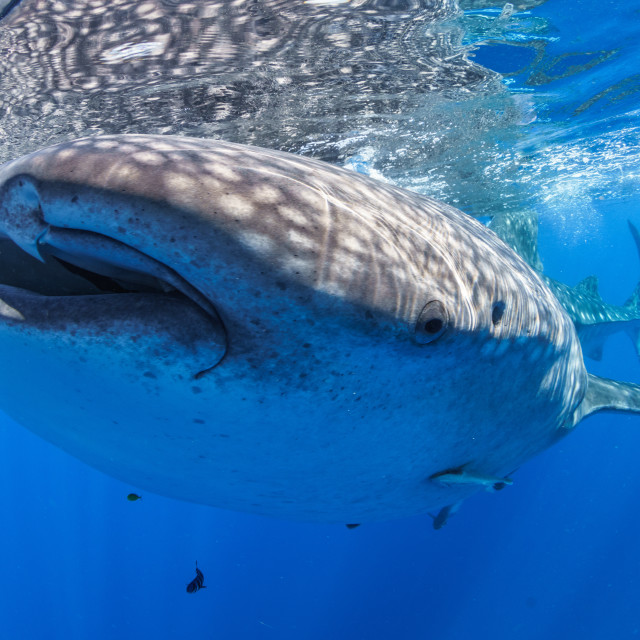 """""""Friendly whale shark at Nosy Be, Madagascar"""" stock image"""