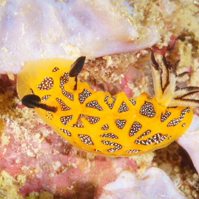 """Halgerda tessellata, a beautiful nudibranch from Mafia Island, T"" stock image"