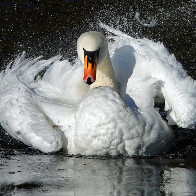 """""""Swan washing"""" stock image"""