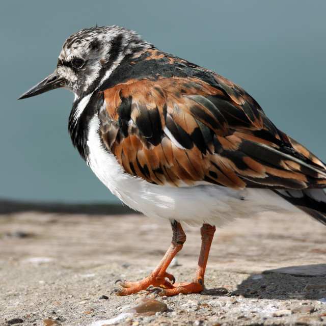 """Turnstone portrait"" stock image"