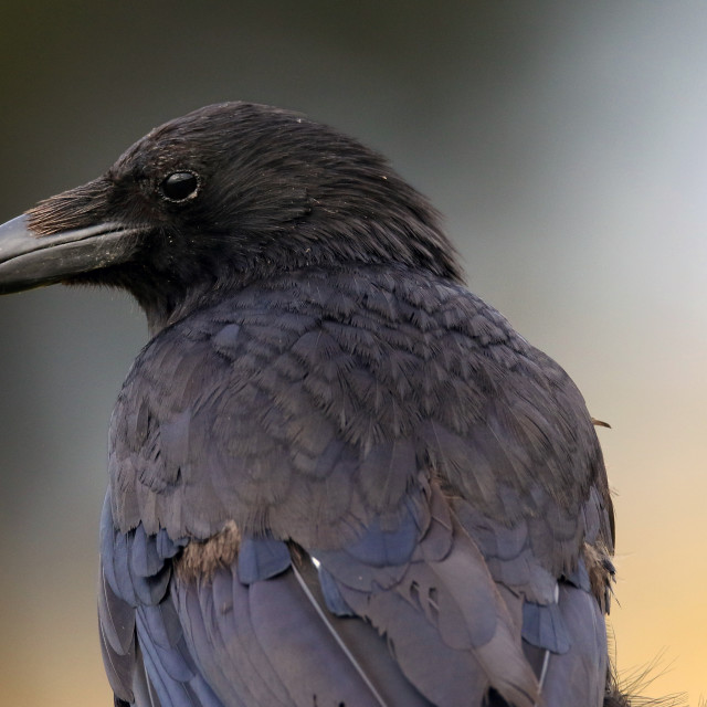 """Juvenile crow at sunrise"" stock image"