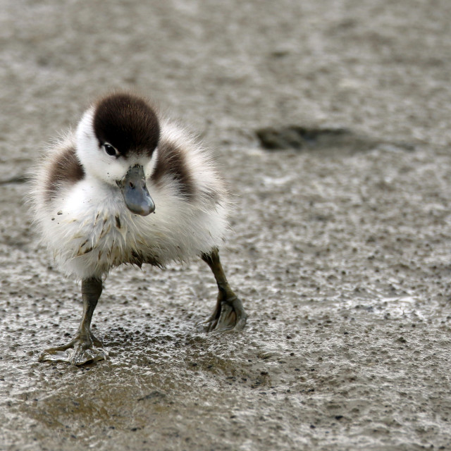 """Shelduck chick stepping out"" stock image"