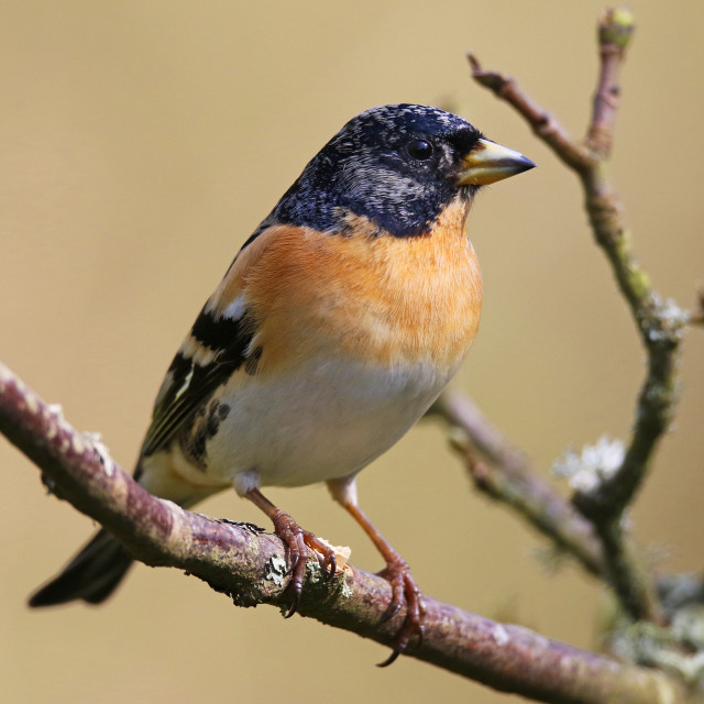 """Brambling poses in a small tree"" stock image"