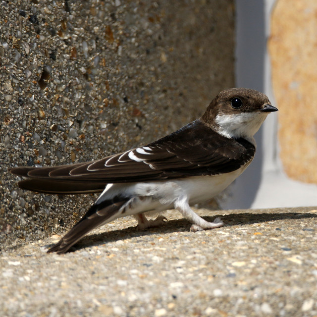 """""""House martin resting at the coast before migration"""" stock image"""