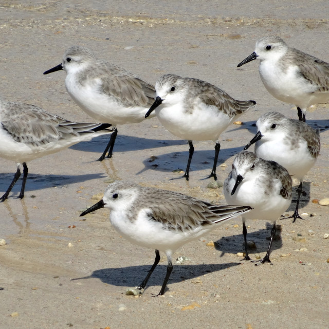 """Small flock of sanderlings waiting at the tideline"" stock image"
