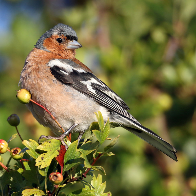 """Chaffinch in a hawthorn tree"" stock image"