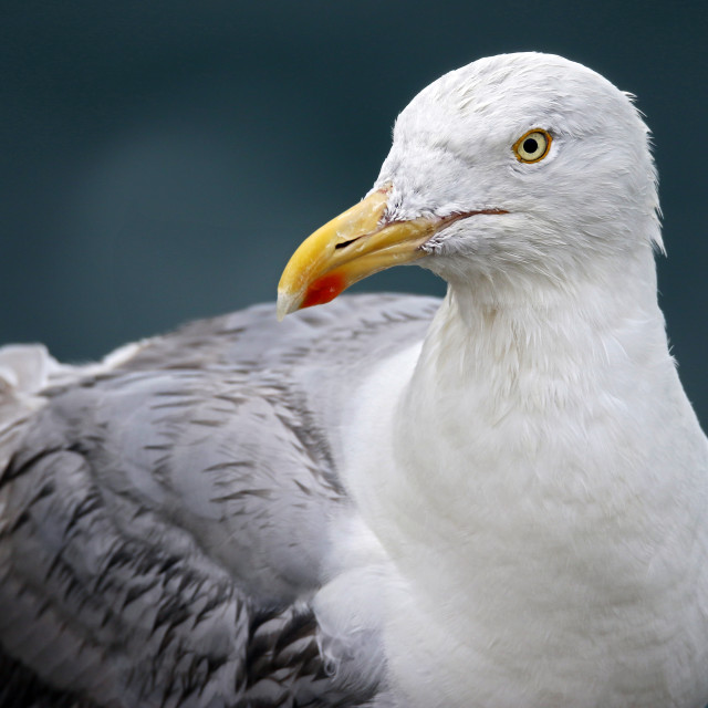 """Herring gull looks disapproving"" stock image"
