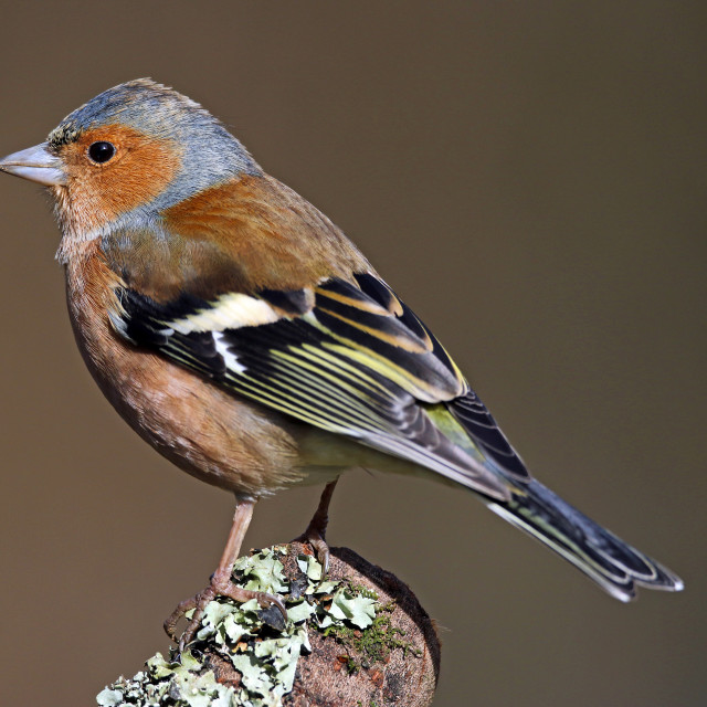 """Male chaffinch profile portrait"" stock image"