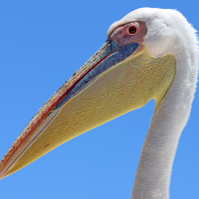 """Great white pelican head portrait"" stock image"