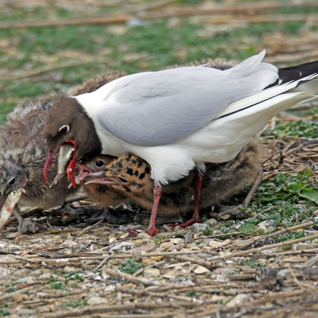"""Black-headed gull feeding chicks"" stock image"