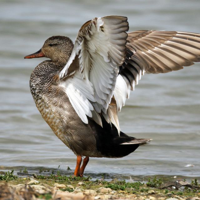 """Gadwall stretching"" stock image"
