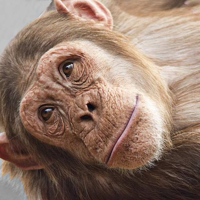 """Chimp portrait"" stock image"