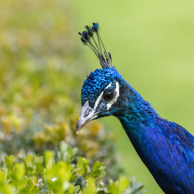 """Closeup portait of a peacock"" stock image"