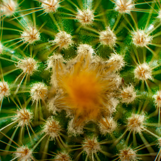 """Golden Barrel Cactus"" stock image"