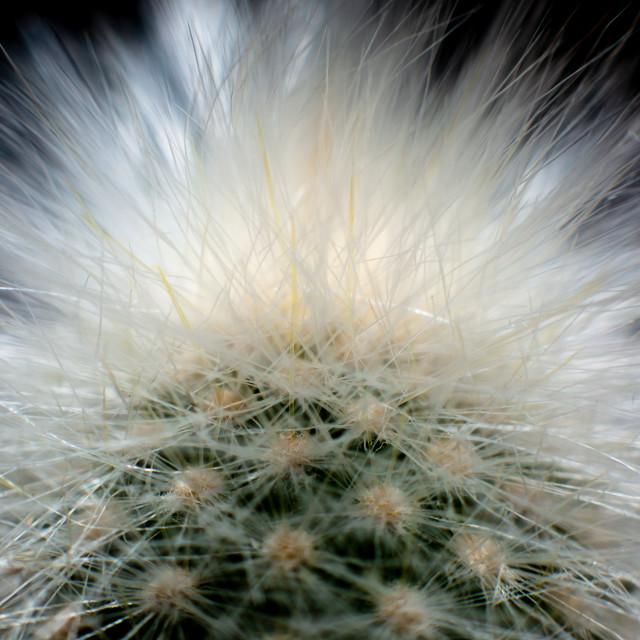 """Cotton Ball Cactus"" stock image"