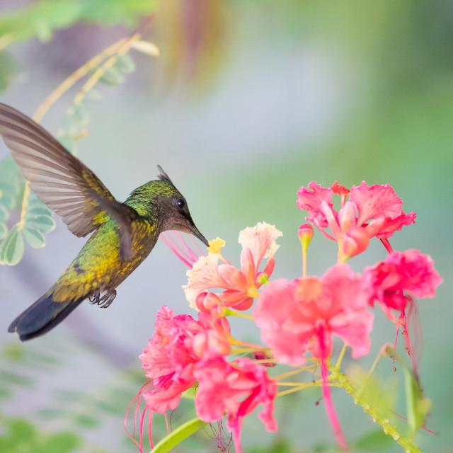 """Hovering Hummingbird"" stock image"