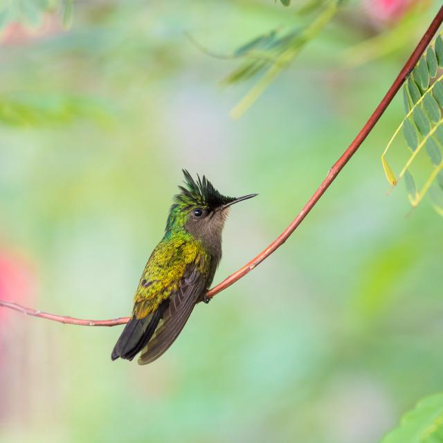 """Antillean Hummingbird"" stock image"