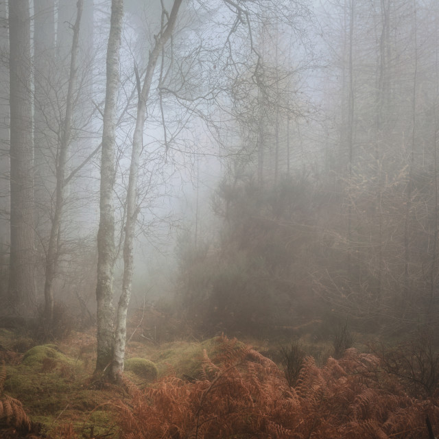 """Silverbirch tree in fog"" stock image"