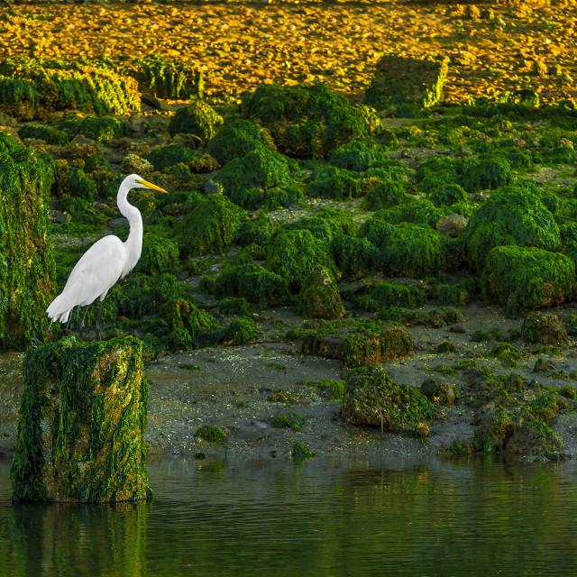 """""""Great Egret Sunrise"""" stock image"""