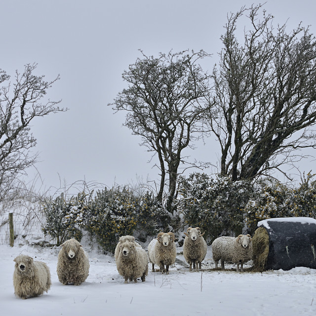 """Dartmoor 'Whiteface' sheep in the snow"" stock image"