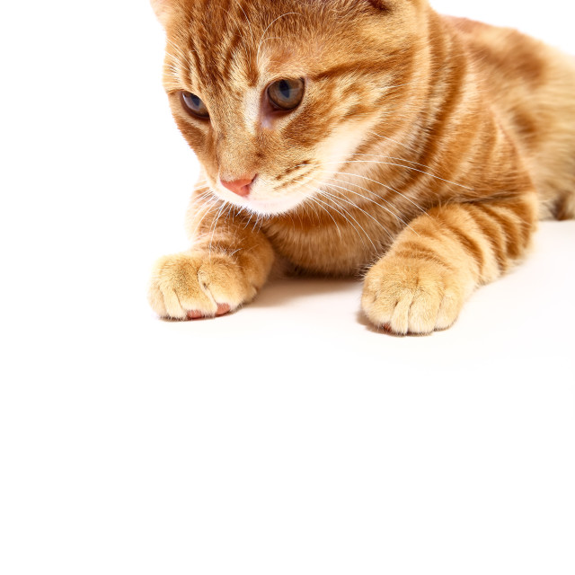 """""""Mackerel ginger tabby kitten isolated on white with space for copy"""" stock image"""