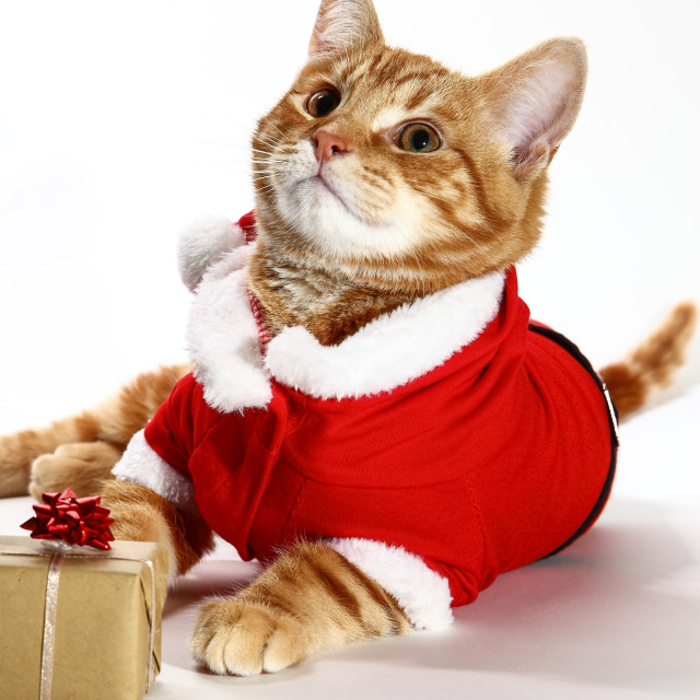 """""""Mackerel tabby kitten wearing a santa claus outfit posing at the side of a christmas present"""" stock image"""