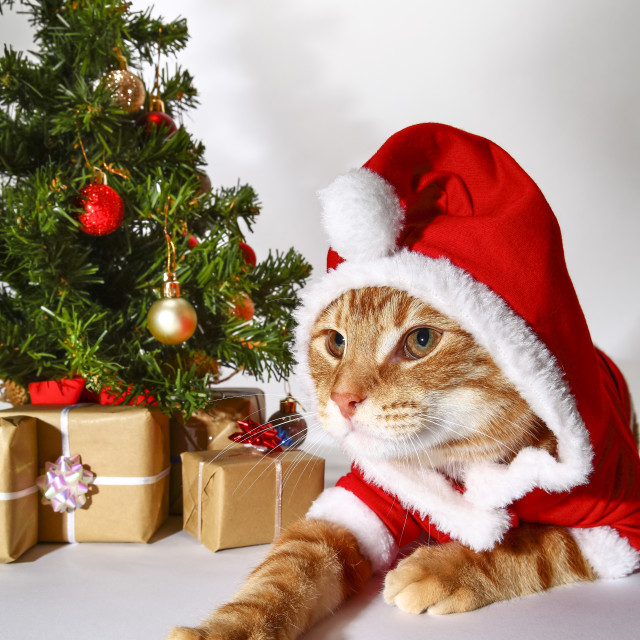 """""""Mackerel tabby kitten wearing a santa claus outfit posing at the side of a christmas tree and xmas presents"""" stock image"""
