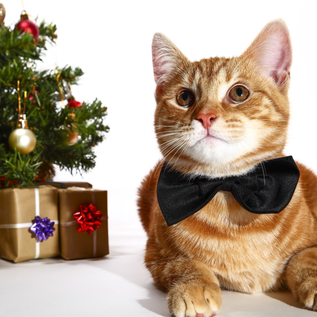 """""""Mackerel tabby kitten wearing a bow tie posing at the side of a christmas tree and xmas presents"""" stock image"""