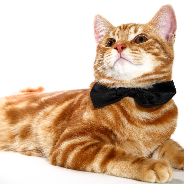 """""""Mackerel ginger tabby kitten wearing a bow tie isolated on a white background"""" stock image"""