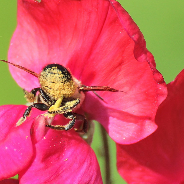 """""""Bee covered in Pollen (Apis)"""" stock image"""