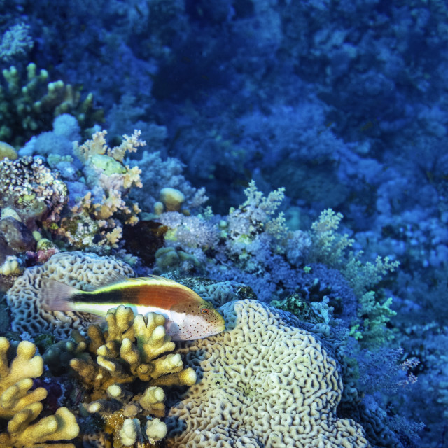 """""""Freckled Hawkfish, Red Sea, Egypt"""" stock image"""