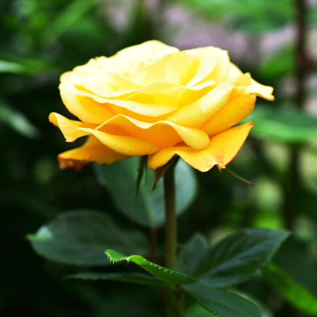 """Yellow rose in the garden"" stock image"