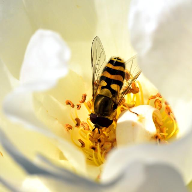 """Eupeodes corollae pollinating the flower"" stock image"