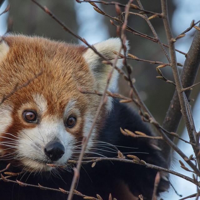 """Red Panda in a tree"" stock image"