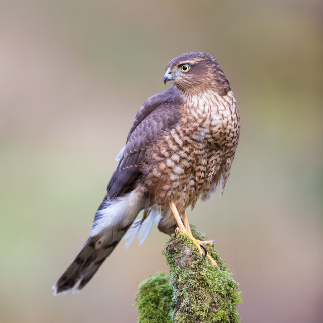 """Female Sparrowhawk"" stock image"