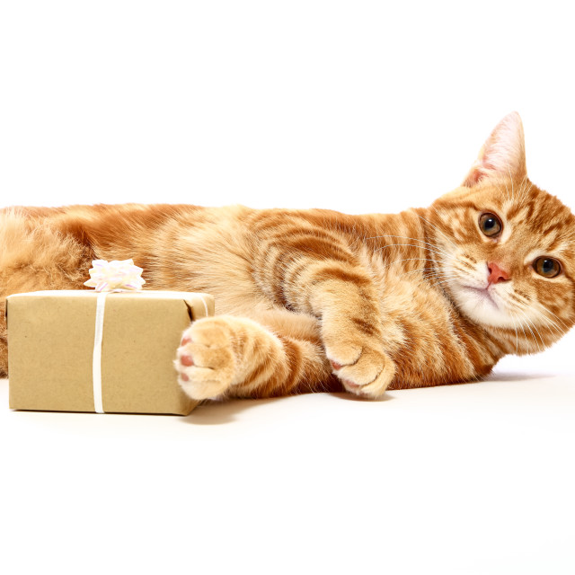 """""""Mackerel tabby kitten posing at the side of a christmas present isolated on a white background"""" stock image"""
