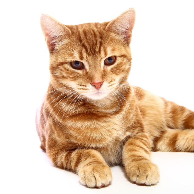 """""""Ginger mackerel tabby cat looking directly at the camera isolated on a white background"""" stock image"""