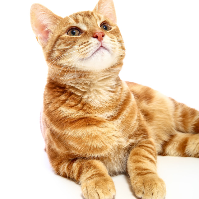 """""""Mackerel ginger tabby kitten looking up isolated on a white background"""" stock image"""