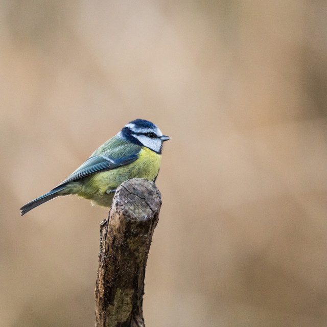 """""""Blue Tit on Branch"""" stock image"""