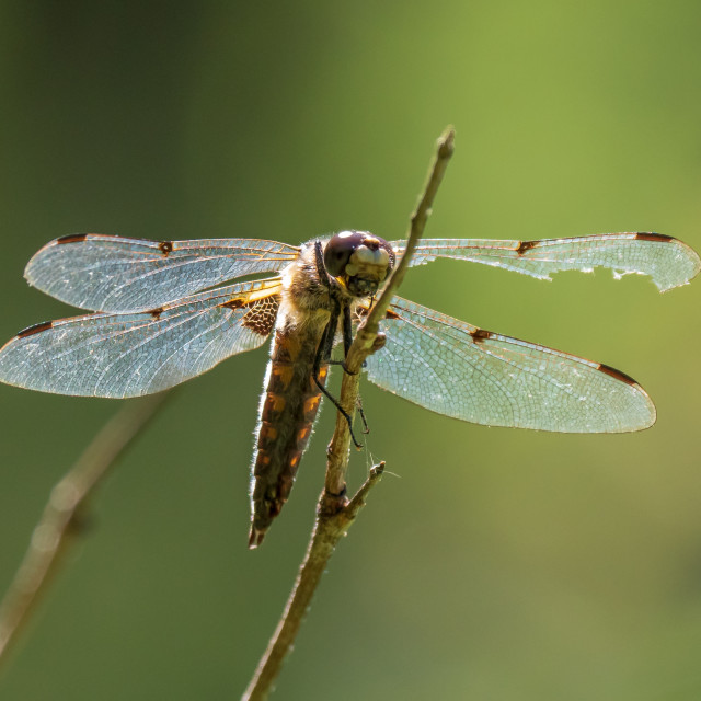 """Four-spotted chaser with damaged wing"" stock image"