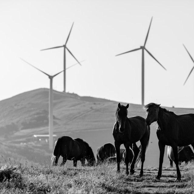 """Two horses play, part of herd, in black and white"" stock image"
