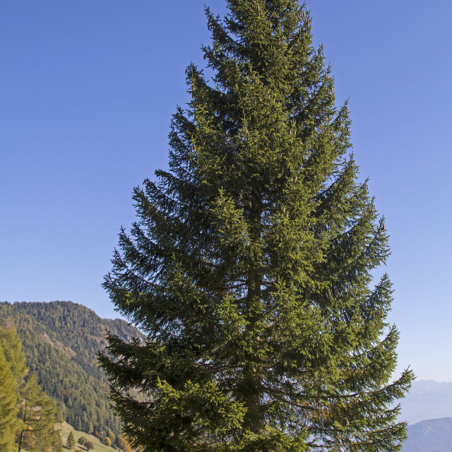 """""""spruce in mountains"""" stock image"""