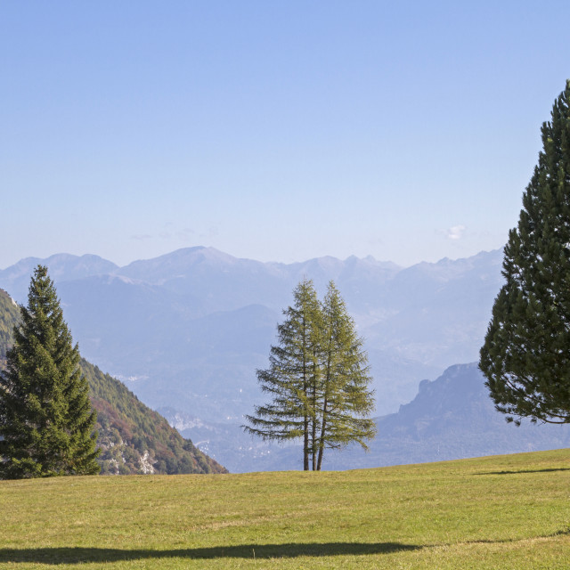 """""""Conifer trio on a mountain meadow"""" stock image"""